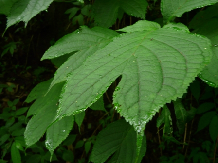 皿ヶ嶺 ギンバイソウの葉 1