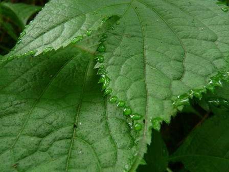 皿ヶ嶺 ギンバイソウの葉 2