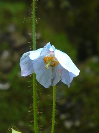 風穴 ヒマラヤの青いケシ 1