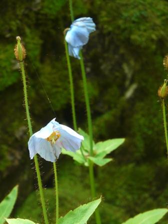 風穴 ヒマラヤの青いケシ 2