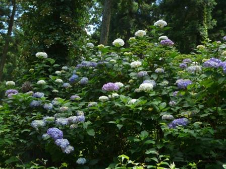 風穴 紫陽花