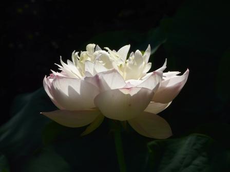 浄瑠璃寺 ハス 3