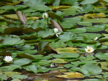 龍王神社・小松が池周辺 スイレン 1