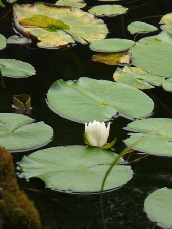 龍王神社・小松が池周辺 スイレン 2