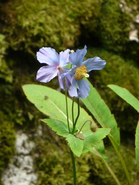 皿ヶ嶺・風穴 ヒマラヤの青いケシ 1