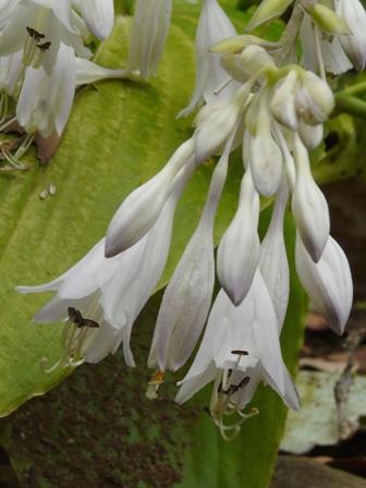 筑波実験植物園 ウラジロギボウシ
