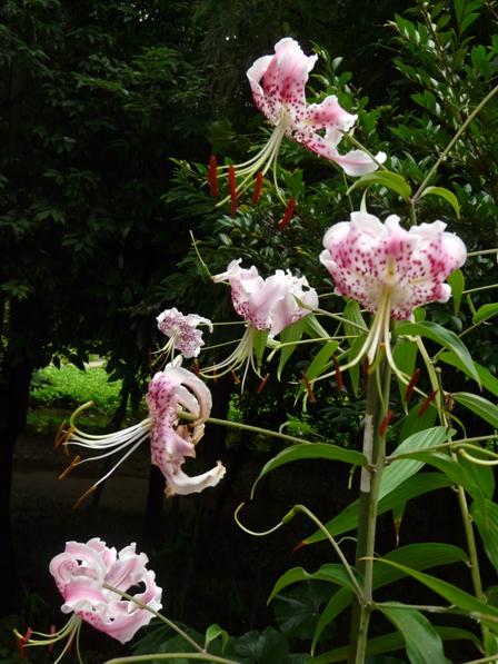 筑波実験植物園 カノコユリ 2