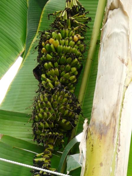 筑波実験植物園 センナリバナナ