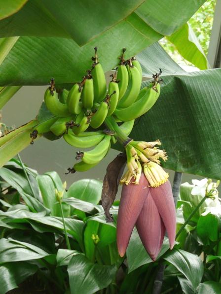 筑波実験植物園 サンジャクバナナ