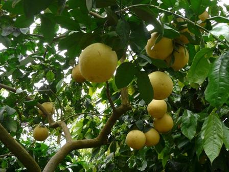 筑波実験植物園 グレープフルーツ