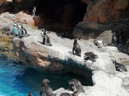 大洗水族館 フンボルトペンギン 1