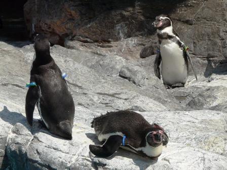 大洗水族館 フンボルトペンギン 2