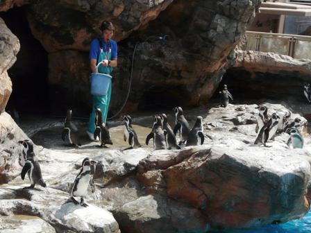 大洗水族館 フンボルトペンギン 5