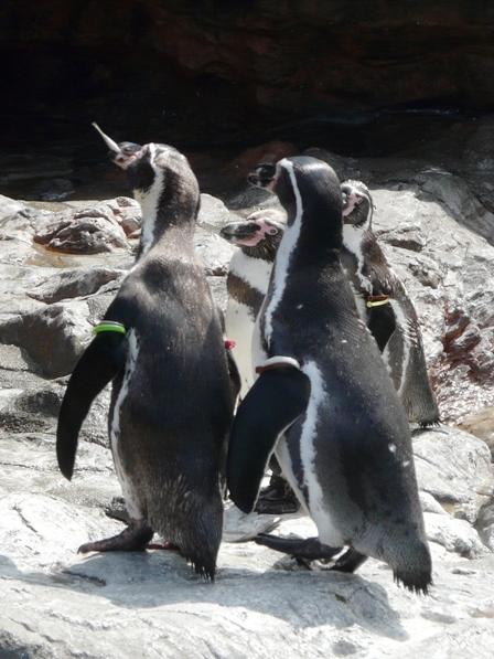 大洗水族館 フンボルトペンギン 6