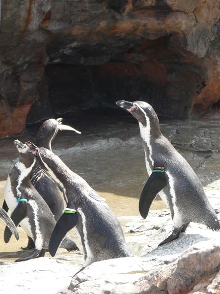 大洗水族館 フンボルトペンギン 7