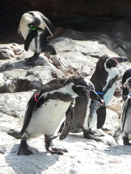 大洗水族館 フンボルトペンギン 8