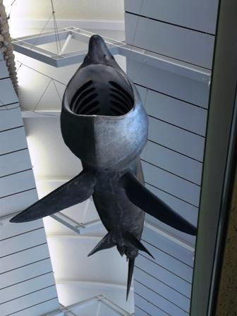 大洗水族館 ウバザメのはく製