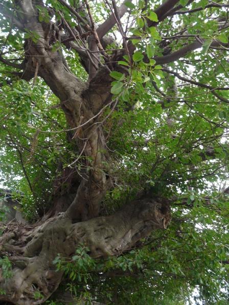 佐田岬半島 三崎のアコウ樹 1