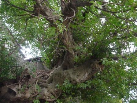 佐田岬半島 三崎のアコウ樹 2