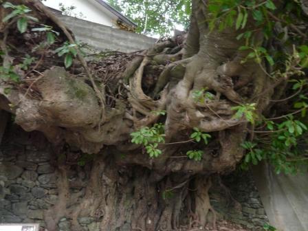 佐田岬半島 三崎のアコウ樹 3