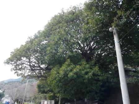 佐田岬半島 三崎のアコウ樹 4