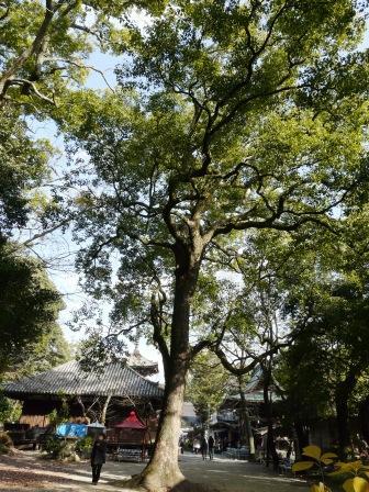 石手寺 大きな木