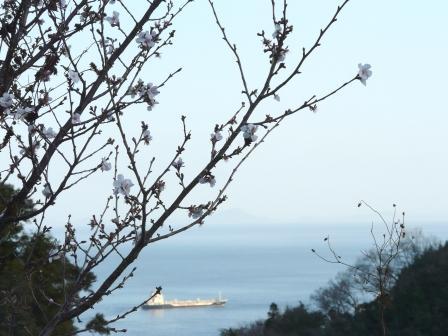 冬桜 肱川あらし展望公園付近