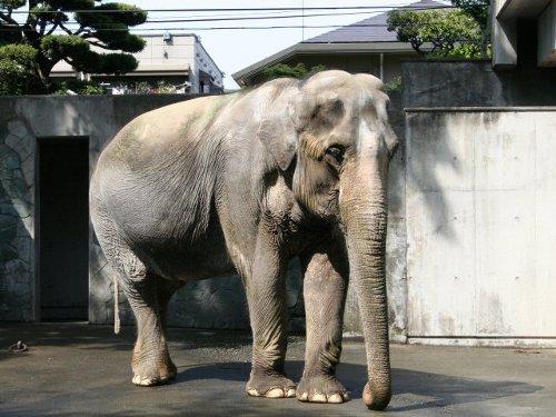日本で最も長生きしているゾウは何歳?