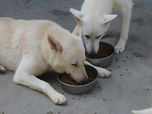 犬が満腹になってもご飯を食べてしまう理由