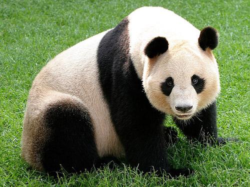 パンダのレンタル料は超高額だった!