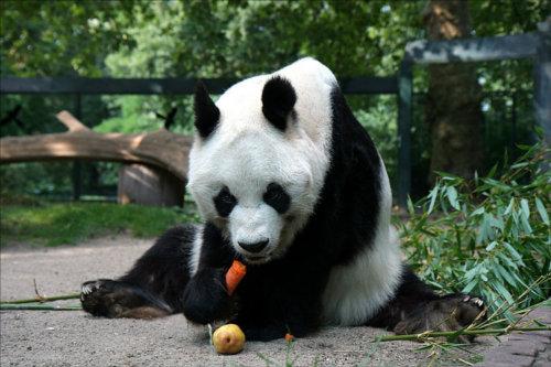 パンダは動物円の動物食費ランキングで堂々第一位!?
