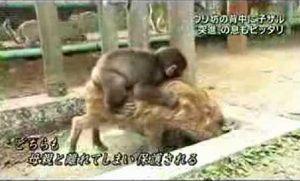 うり坊と子猿動画fc2