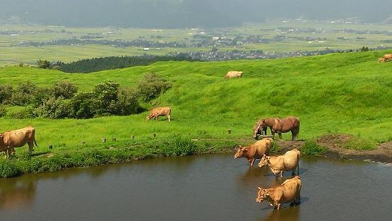 熊本旅行:阿蘇山火口観光 放牧牛 水場