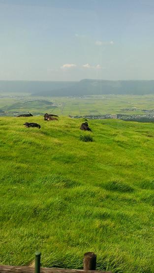 熊本旅行:阿蘇山火口観光 放牧牛 黒