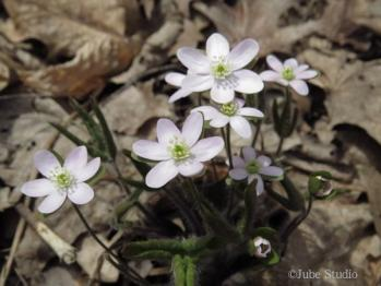 roundlobedhepatica.jpg