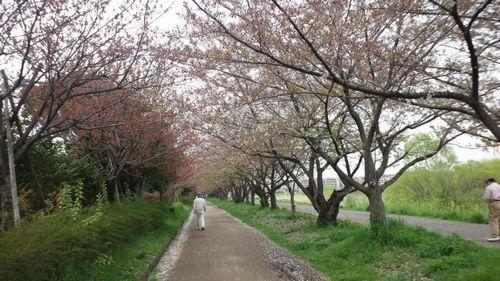 デコボコな私の日記-桜トンネル