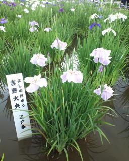 菖蒲まつり201204