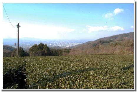 14.1.11茶畑見晴らし2