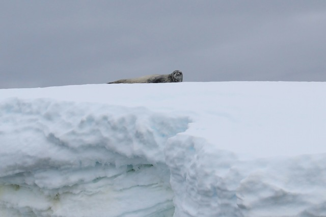 Weddell Seal near Wilhelmina - Zaid