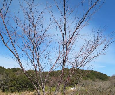 三重県鳥羽市 面白展望台 桜の木