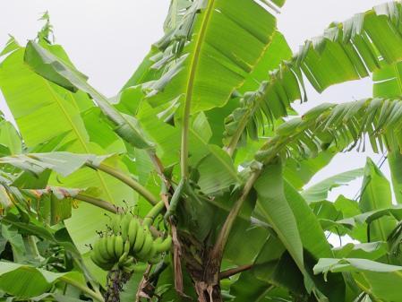 波照間 島バナナ