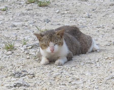 波照間の猫