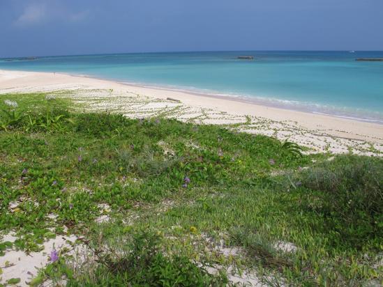 波照間島ニシハマ グンバイヒルガオ