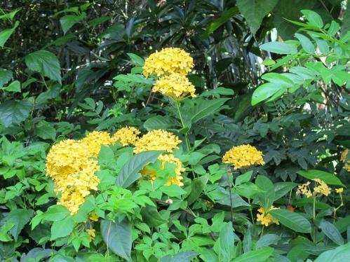 サンタンカ 黄花
