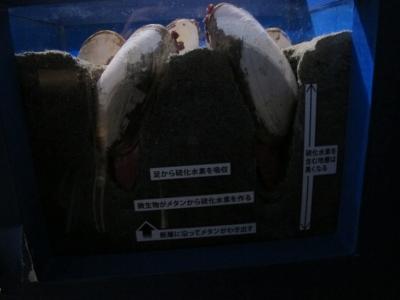 シロウリガイ生息モデル