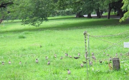 小石川植物園 ムクドリたち