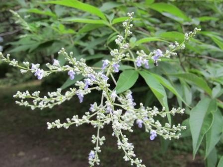 小石川植物園 ニンジンボク