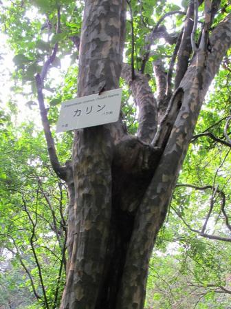 カリン 小石川植物園