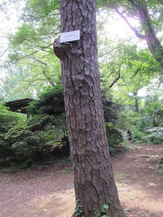 クロマツ 小石川植物園