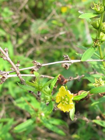 小石川植物園 キバナノミソハギ